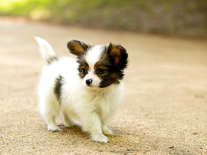 papillion puppies toy dog puppies pictures 8035