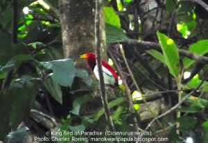 Birding Tour in West Papua of Indonesia