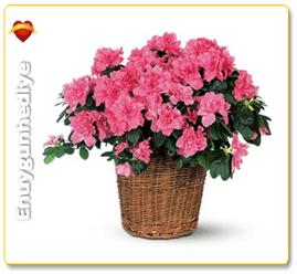 Açelya Çiçeğinin Anlamı Nedir?