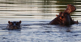 Bodies Of At Least 28 Hippopotamuses Are Found In Ethiopia's National Park