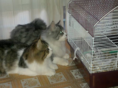 gatos-joven-adulto-etapa-reproductiva-importancia-castración