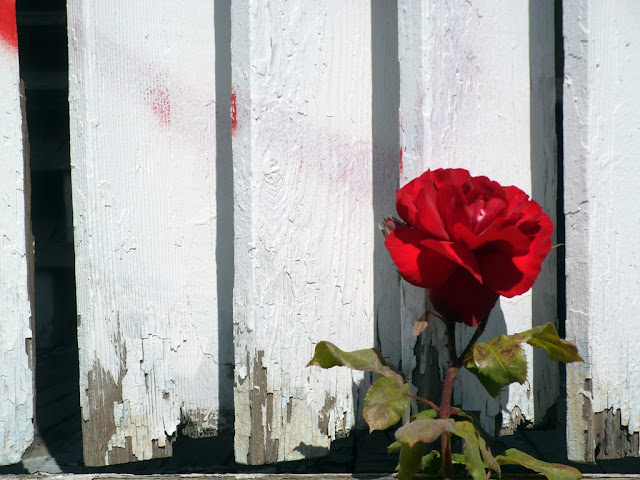 A rose grows from the ruins of the now gone Holiday Court Motel...
