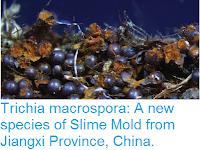 http://sciencythoughts.blogspot.co.uk/2016/09/trichia-macrospora-new-species-of-slime.html