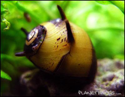 Fauna Pemakan Alga Terbaik Untuk Aquascape