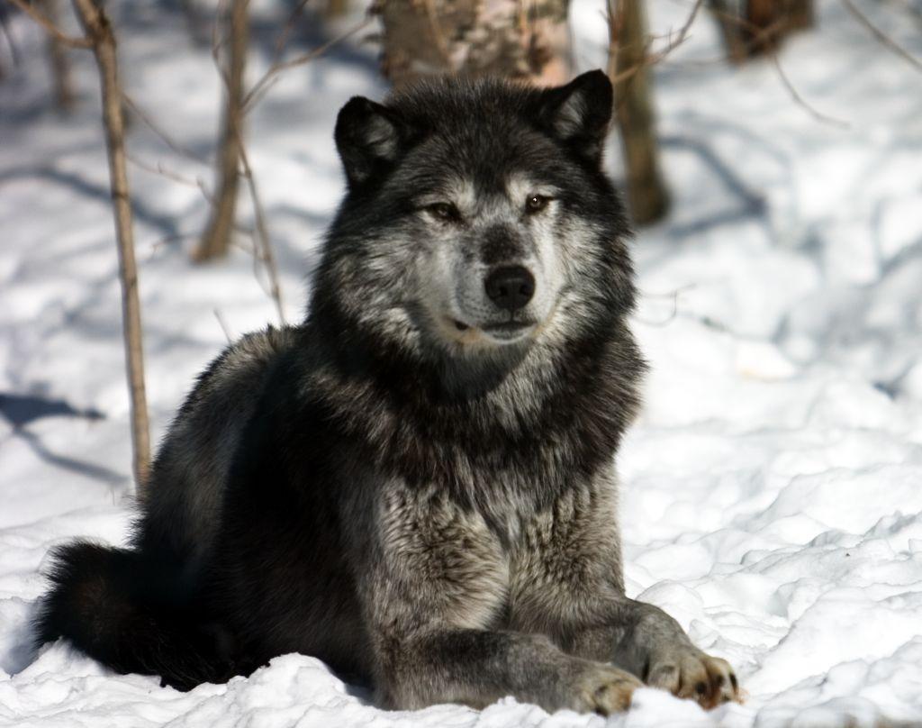 Wolves: Fenrisian Wolves For Dark Riders
