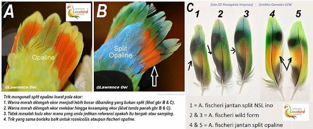 Mengenal Ciri Fisik Burung Split Opaline