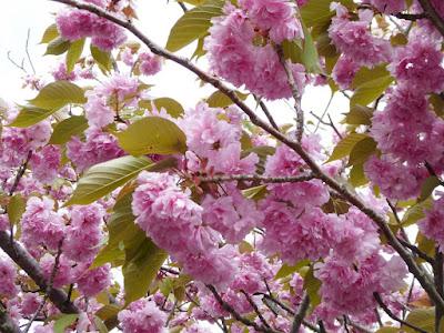 生駒山上遊園地 八重桜