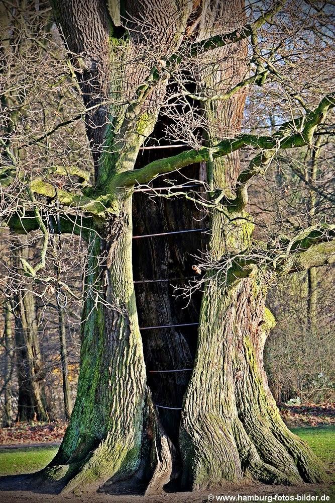 kurioser Baum mit Baumhöhle im Jenischpark