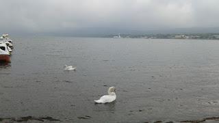 Cisnes en el lago con el ferry al fondo