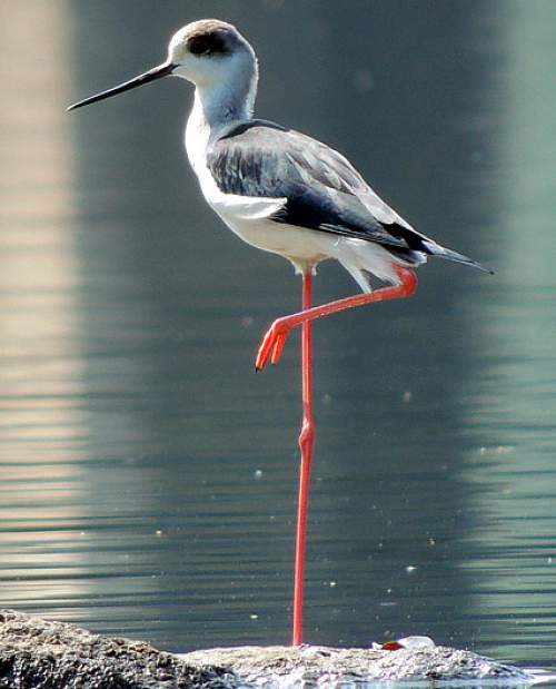 Indian birds - Image of Black-winged stilt - Himantopus himantopus