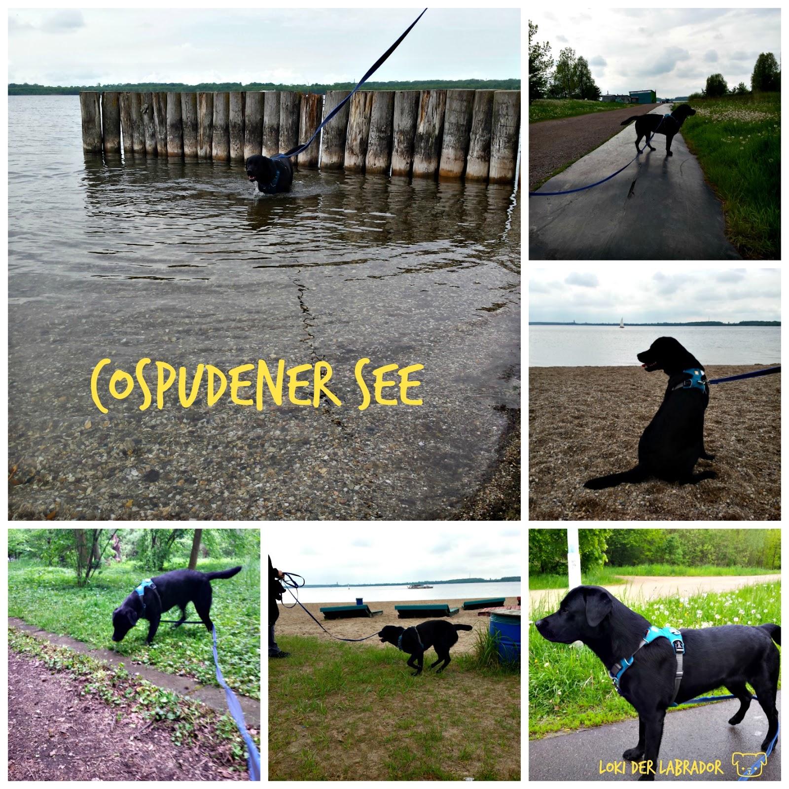 Cospudener See Schwarzer Labrador