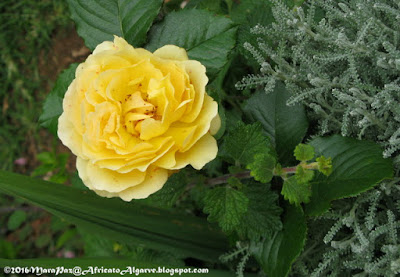 yellow patio rose