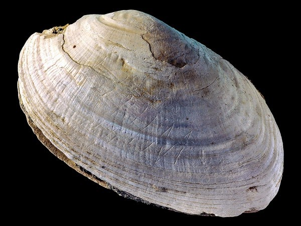 Oldest ever engraving discovered on 500,000-year-old shell