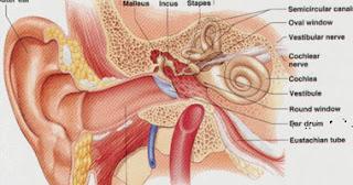 اجزاء الاذن التي تعمل على الروافع وتركيب الاذن و كيفية المحافظة عليها.
