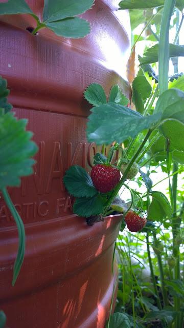 reife Erdbeeren im Erdbeerfaß (c) by Joachim Wenk