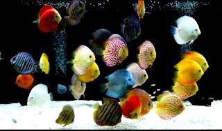 Bagaimana Sejarah dan asal usul ikan discus