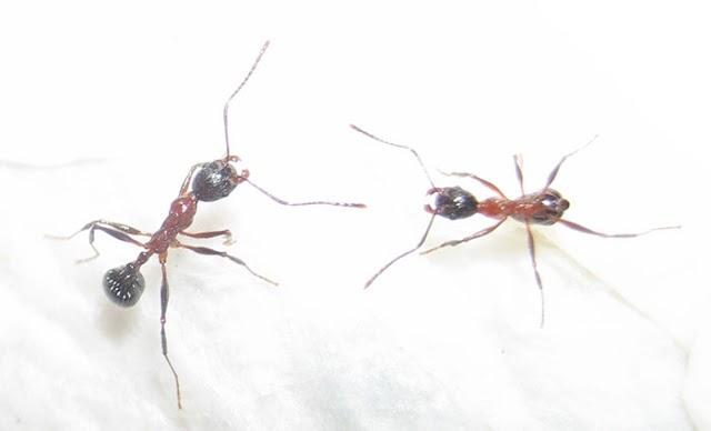 長腳家蟻 Aphaenogaster