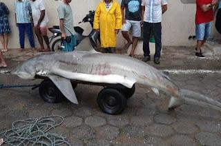 http://vnoticia.com.br/noticia/3119-tubarao-cai-na-rede-de-pescadores-em-praia-de-marataizes-es