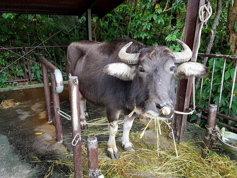 休息中的水牛,晚點可能需要上工拉牛車