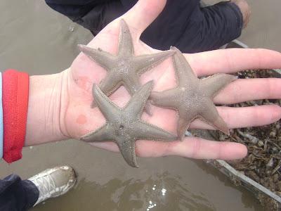 Estrellas de mar en El Puerto Santa María