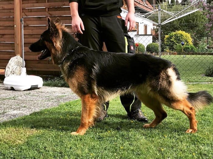 Le Berger Allemand: chien de service numéro un