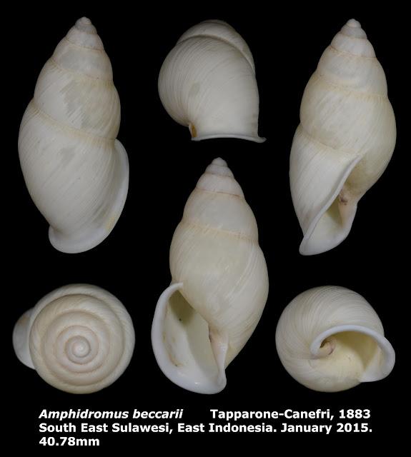 Amphidromus beccarii 40.78mm