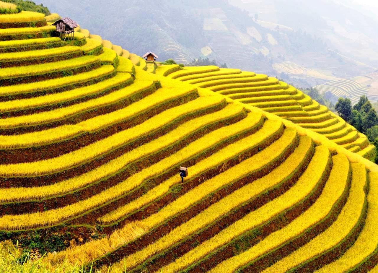 ruộng bậc thang tuyệt đẹp với đồng lúa chín vàng