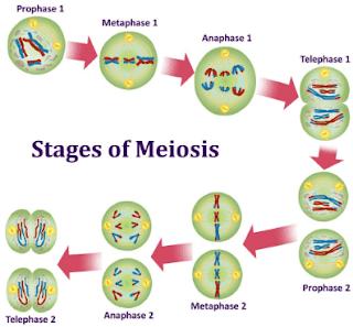 pengertian meiosis, ciri ciri meiosis, tujuan meiosis, tahap pembelahan meiosis