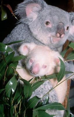 O coala tem a cabeça pequena, o focinho curto e os olhos bem separados. O nariz é grosso e achatado, e está munido de grandes narinas em forma de V, com as fossas nasais muito desenvolvidas, que mexem no seu equilíbrio térmico.