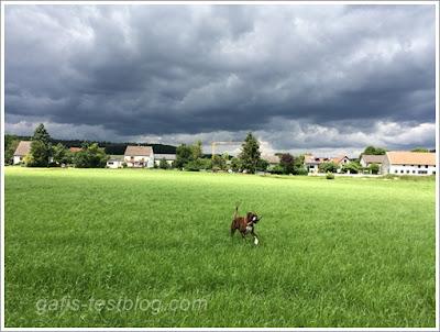 Boxer Amy in der Wiese und dunklen Wolken