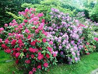 Rododendrony w ogrodzie nieborowskim