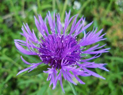 Flor azul violácea del aciano de montaña (Centaurea montana)