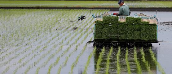 Une nouvelle souche de riz cultivable dans l'eau salée pourrait nourrir 200 millions de personnes