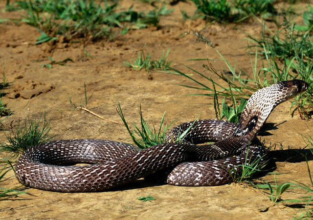 King Cobra - Facts, information and pictures 5