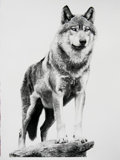 01-Alpha-Wolf-William-Bill-Harrison-Majestic-Wildlife-Carbon-Pencil-Drawings-www-designstack-co