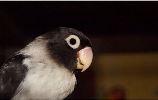 Gambar ini memiliki atribut alt yang kosong; nama filenya adalah Lovebird%2BBatman%2B2.JPG