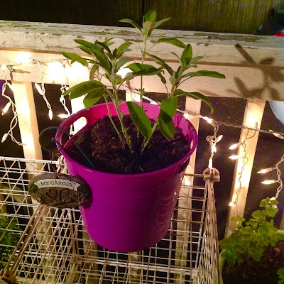 Sage in Purple Bucket Turned Container from Dollar Tree