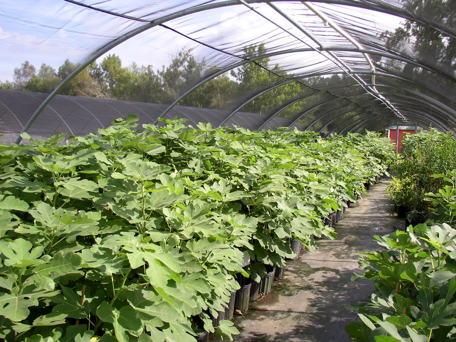 First Year Fig Trees In Covered Hoop House Paradise Nursery