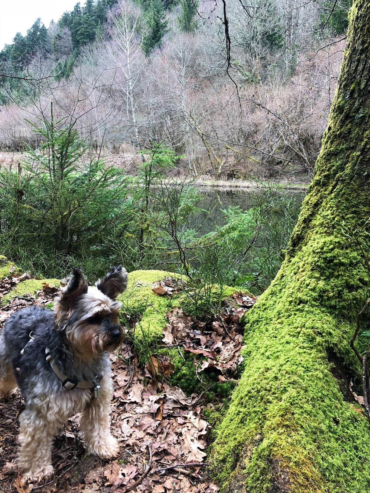 Yorkshire Terrier w lesie wiosną