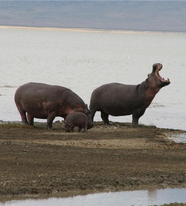Picture of a hippo family.