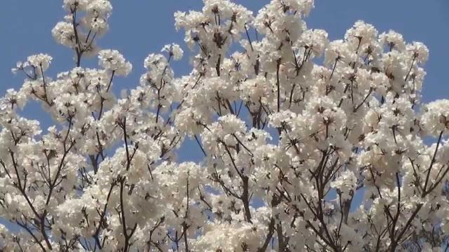 O ipê é muito apreciado por sua beleza, no período da floração, perde todas as suas folhas e se cobre totalmente de flores brancas . A árvore floresce principalmente durante os meses de Agosto a Outubro, mas suas flores duram apenas quatro dias ou menos. As espécies de outras cores, como a rosa e amarela florescem cerca de uma semana a dez dias. A árvore produz anualmente uma grande quantidade de sementes, que são dispersas pelo vento.