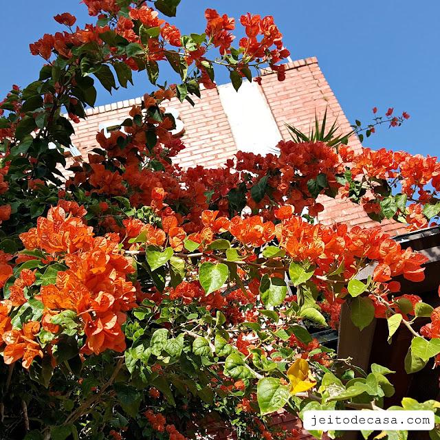 primavera-laranja-trepadeira