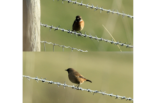 Stonechats & Little Egret
