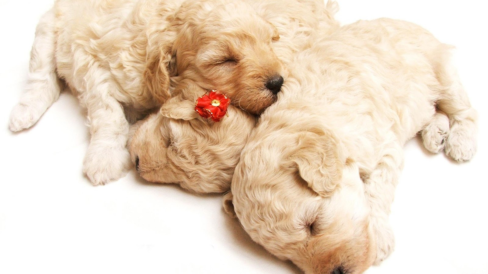 HD Wallpapers: HD PUPPY WALLPAPERS