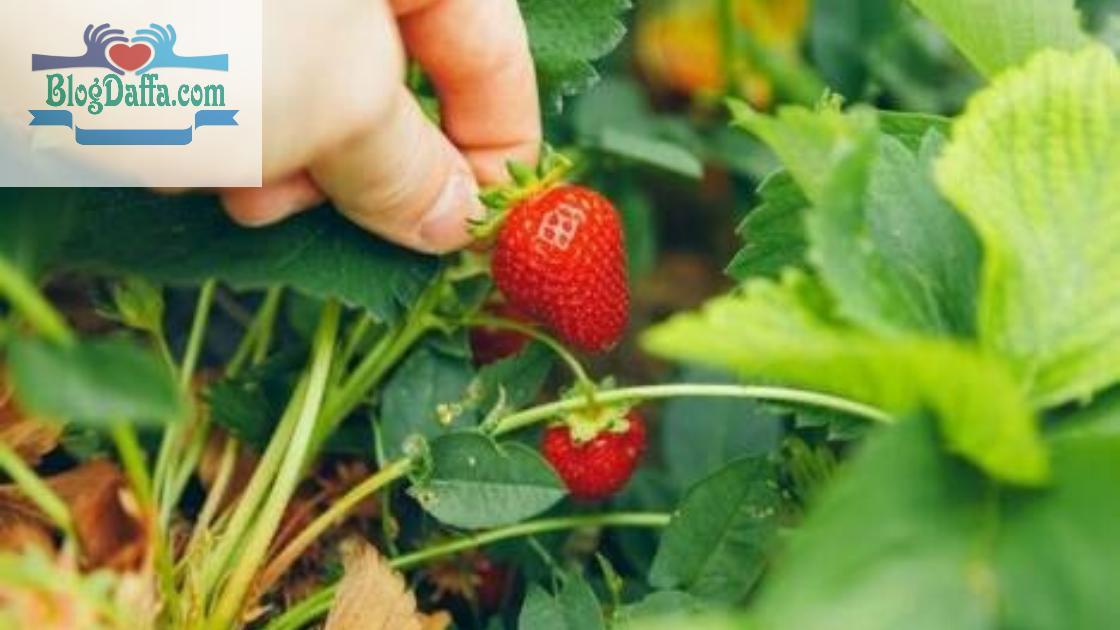 Cara memanen strawberry