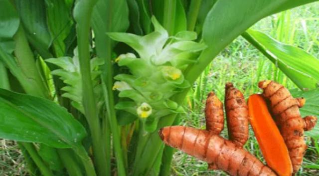 Kunyit - 10 Contoh Tumbuhan Monokotil Beserta Gambar dan Ciri-Cirinya Lengkap