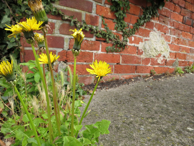 Self seeded dandelions growing through tarmac next to a brick wall