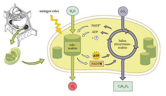 Fotosynteesi Valoreaktio