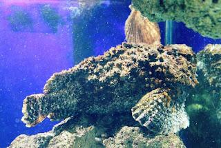 Stone Fish Ikan Mirip Karang yang memiliki racun Mematikan