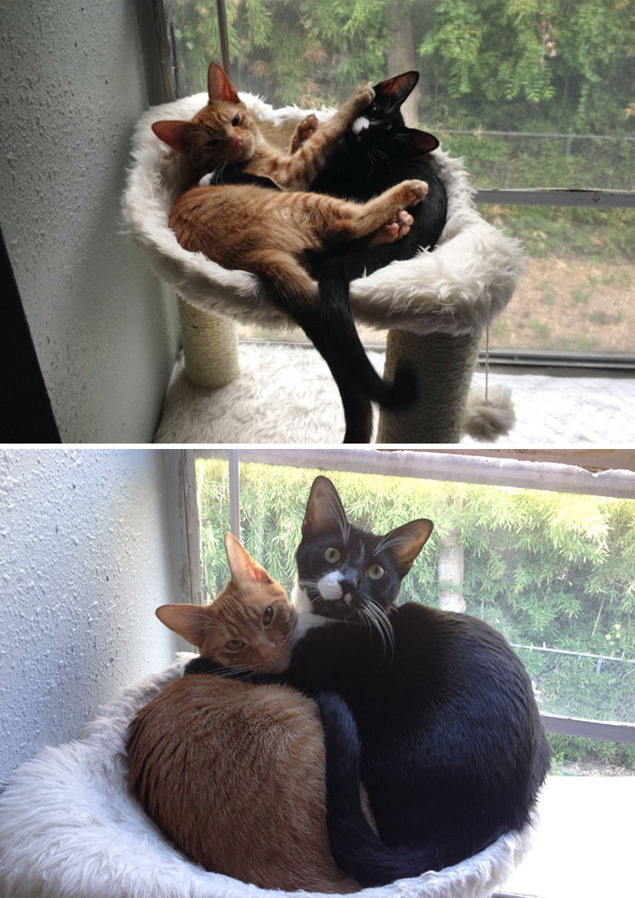 50 Heart-Warming Photos of Animals Growing Up Together - Adopted Cat Brothers Continue Sleeping Together Even After They Outgrow Their Bed